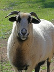 Blackbelly Sheep